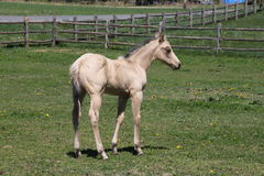 Pretty little foal. A pretty little foal on a warm spring day Royalty Free Stock Photos
