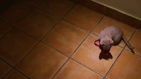 Pretty little gray kitten played on the floor stock video footage