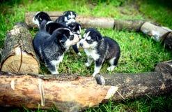 Pretty little husky puppies outdoor in the garden Stock Photos