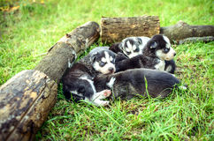 Pretty little husky puppies outdoor in the garden Royalty Free Stock Photography