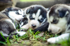 Pretty little husky puppies outdoor in the garden Stock Photo
