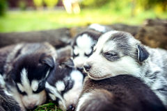 Pretty little husky puppies outdoor in the garden Stock Images