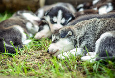 Pretty little husky puppies outdoor in the garden Royalty Free Stock Photos