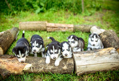 Pretty little husky puppies outdoor in the garden Royalty Free Stock Photo