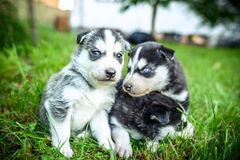 Pretty little husky puppies outdoor in the garden Royalty Free Stock Image