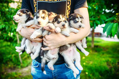 Pretty little husky puppy outdoor in hands Stock Photos