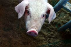 Pretty little piggy in pig breeding farm, swine agricultural business,. Background, texture royalty free stock photo