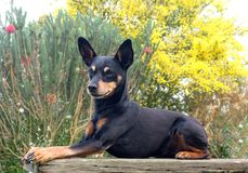 Pretty little pinscher Stock Photos