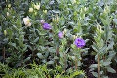 Pretty little purple flower in the garden Royalty Free Stock Image