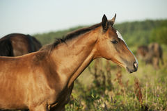 Pretty little red akhal-teke foal in field Stock Images