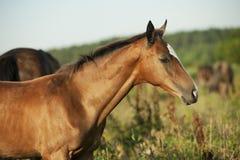Pretty little red akhal-teke foal in field Stock Images