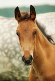 Pretty little red  foal in field Royalty Free Stock Images