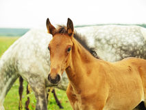 Pretty little red  foal in field Royalty Free Stock Photo