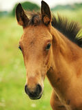 Pretty little red  foal in field Stock Image