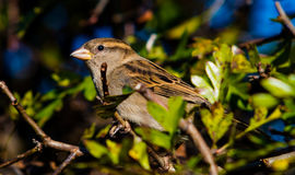 A pretty little sparrow. A cute little sparrow waiting for food Stock Photos