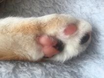 Pretty Little Tabby Tortie Cat Paw. Close up of Paw Little Girl Tabby Tortie Cat with giner markings Royalty Free Stock Images