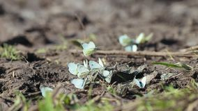 A pretty little white butterflies sit on the ground. Mid shot stock video footage