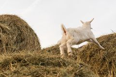 A pretty little white goat jumping on a haystack. In the sky royalty free stock photo