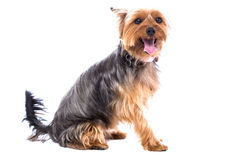 Pretty little Yorkshire terrier Stock Photos