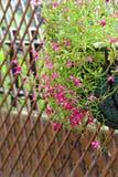 Pretty lobelia flowers Stock Image