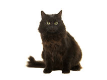 Pretty long haired black cat sitting facing the camera Stock Photography