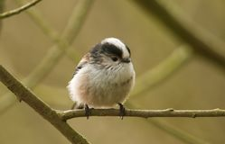 A stunning Long-tailed Tit Aegithalos caudatus perched on a branch of a tree. A pretty Long-tailed Tit Aegithalos caudatus perched on a branch of a tree Royalty Free Stock Photos