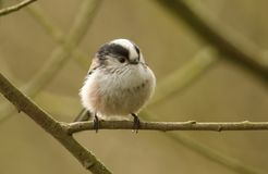 A stunning Long-tailed Tit Aegithalos caudatus perched on a branch of a tree. A pretty Long-tailed Tit Aegithalos caudatus perched on a branch of a tree Stock Photos