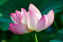 A pretty lotus Royalty Free Stock Images