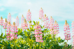 Pretty lupines flowers in garden or park over blue sky background, outdoor Royalty Free Stock Photo