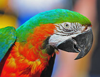 Pretty Macaw checking you out Royalty Free Stock Images