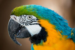 Pretty Macaw Parrot Portrait Royalty Free Stock Photos