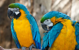 Pretty Macaw Parrots Stock Photos