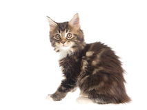 Pretty Maine Coon kitten on white background Stock Photography