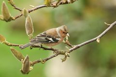 A pretty male Chaffinch, Fringilla coelebs, perched on the branch of a Magnolia tree. A stunning male Chaffinch, Fringilla coelebs, perched on the branch of a Stock Image