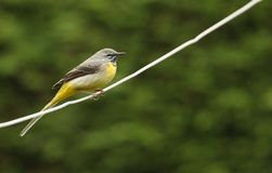 A stunning male Grey Wagtail Motacilla cinerea perched on a wire. A pretty male Grey Wagtail Motacilla cinerea perched on a wire royalty free stock images