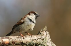 A stunning male House Sparrow Passer domesticus perched on a branch in a tree. A pretty male House Sparrow Passer domesticus perched on a branch in a tree Royalty Free Stock Photos