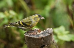 A stunning male Siskin Carduelis spinus perched on a tree stump feeding. A pretty male Siskin Carduelis spinus perched on a tree stump feeding Royalty Free Stock Images