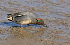 A stunning male Teal Anas crecca feeding in the mud on a coastal estuary. A pretty male Teal Anas crecca feeding in the mud on a coastal estuary Royalty Free Stock Photography