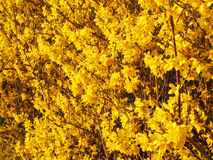 Pretty March Yellow Forsythia Flowers Stock Photography