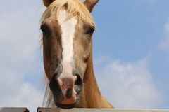 Pretty Mare. For those who love horses, without any preparation Stock Photography