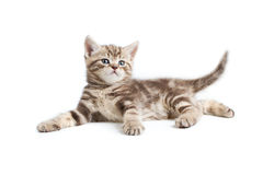 Pretty marmoreal british kitten lying Stock Image