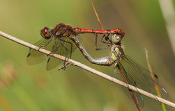 A mating pair of Common Darter Dragonfly Sympetrum striolatum perched on a reed. Royalty Free Stock Image