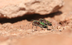 A pretty mating pair of Green tiger beetle Cicindela campestris. Stock Photo