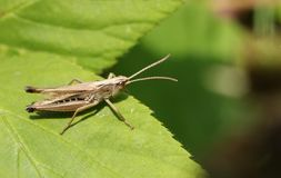 A pretty Meadow Grasshopper  Chorthippus parallelus perching on a leaf. Royalty Free Stock Photos