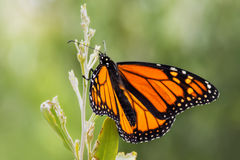 Pretty Monarch Butterfly resting on a plant. Soft Background with a monarch Butterfly on a plant Stock Images