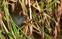 A Moorhen Gallinula chloropus hiding in the Reeds. Stock Photos