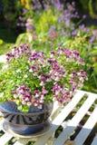 Pretty nemesis flowers Stock Image