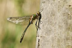 A pretty newly emerged Downy Emerald Dragonfly, Cordulia aenea, perched on a tree trunk. royalty free stock photos