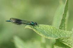 A newly emerged male Banded Demoiselle Dragonfly, Calopteryx splendens, resting on a Comfrey leaf at the edge of a river in the UK stock photo