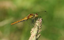 A newly emerged Ruddy Darter Dragonfly Sympetrum sanguineum perching on a grass seed head. A pretty newly emerged Ruddy Darter Dragonfly Sympetrum sanguineum royalty free stock photos